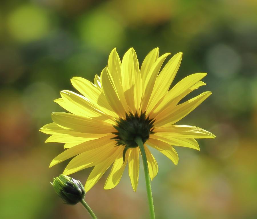 September Sunny Daisy by MTBobbins Photography