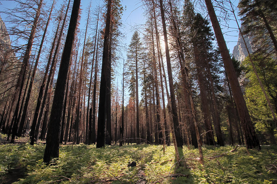Sequoia National Park Photograph - Sequoia Forest At Sunrise by Rick Pham