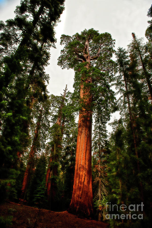 Kings Canyon Photograph - Sequoia In Kings Canyon by David Arment