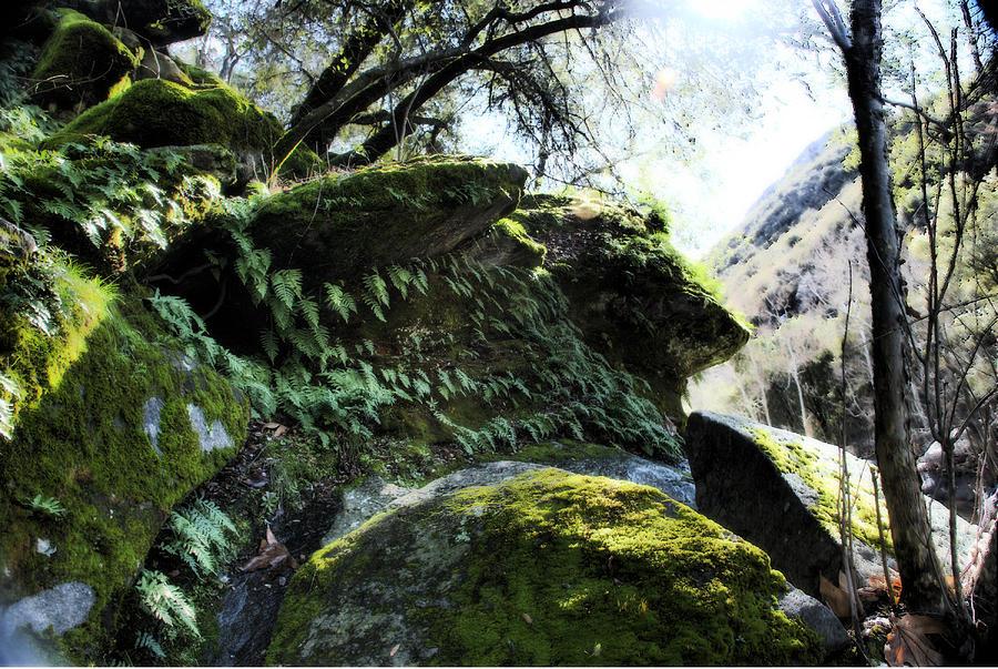 Sequoia Moss Photograph by Matthew Derr