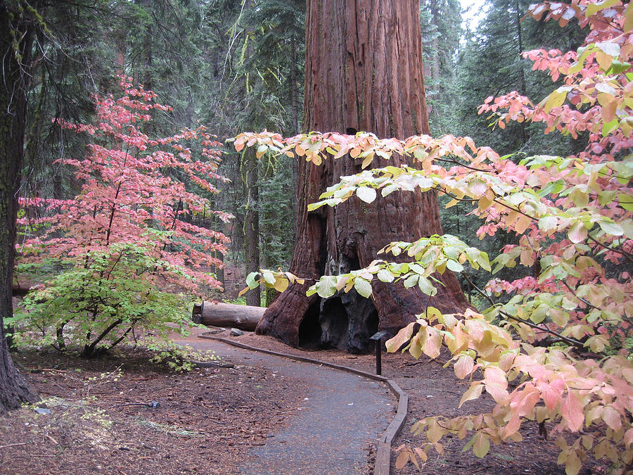 Nature Photograph - Sequoia  Trees 3 by Naxart Studio