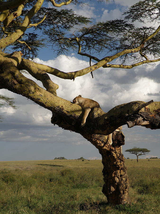 Nature Photograph - Serengeti Dreams by Rhoda Gerig