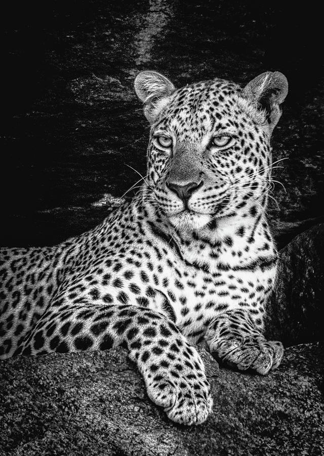 Serengeti Leopard by Lev Kaytsner
