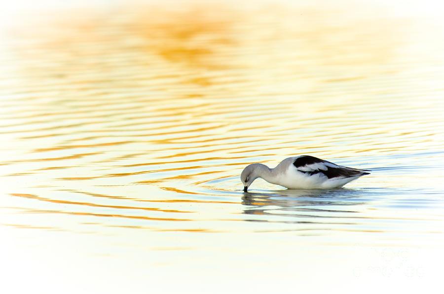 Avocet Photograph - Serenity by Emily Bristor