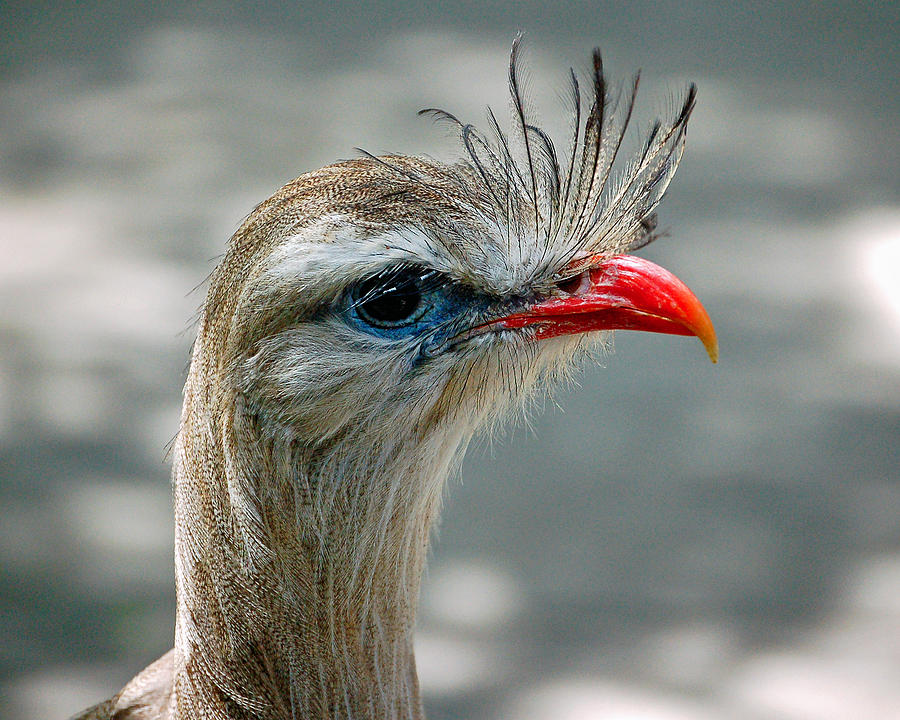 Bird Photograph - Seriema Bird Alert by Donna Proctor