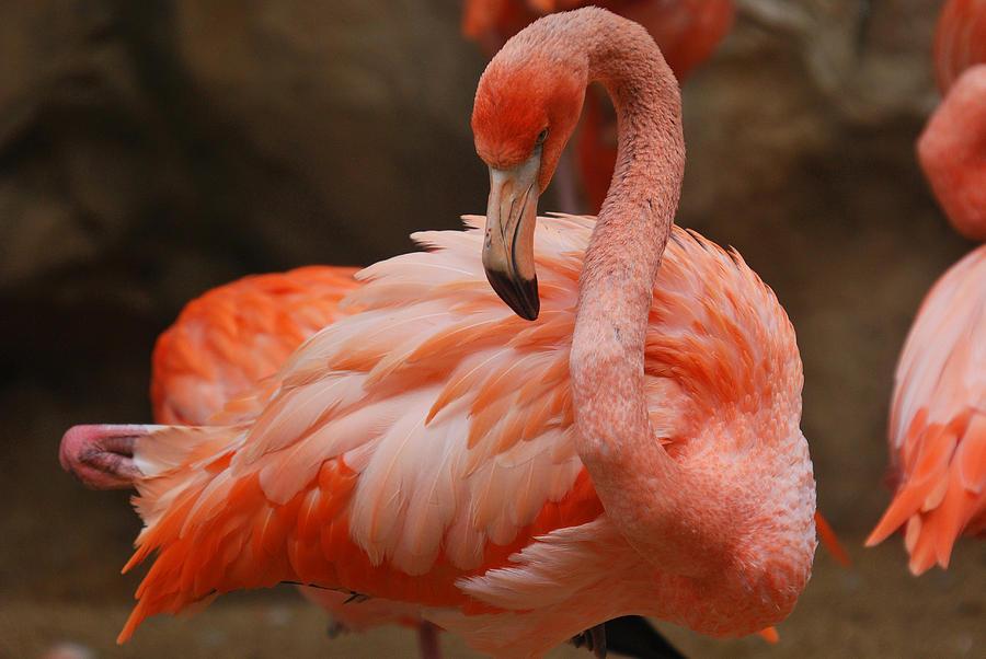 Blanton Photograph - Serious Flamingo by Teresa Blanton