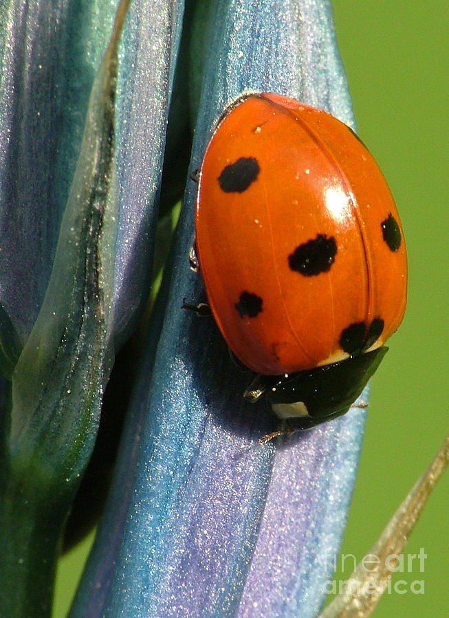 Lady Photograph - Seven Spotted Lady Beetle by Katie LaSalle-Lowery