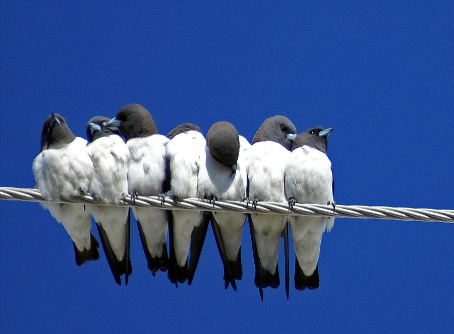 Animals Photograph - Seven Swallows Sitting by Holly Kempe