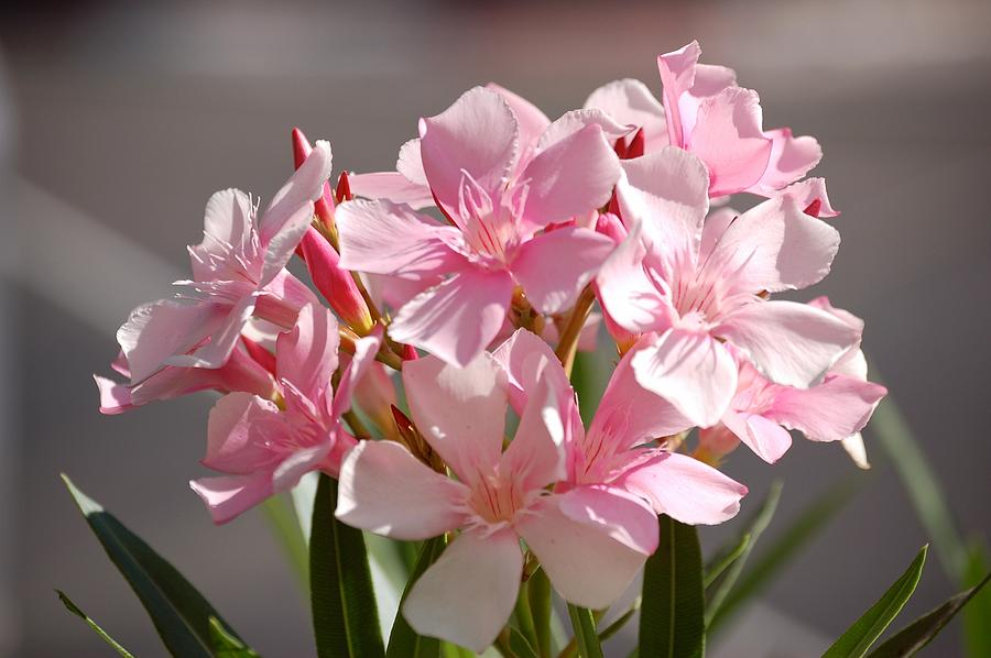 Flower Photograph - Shades Of Pink by Susan Heller