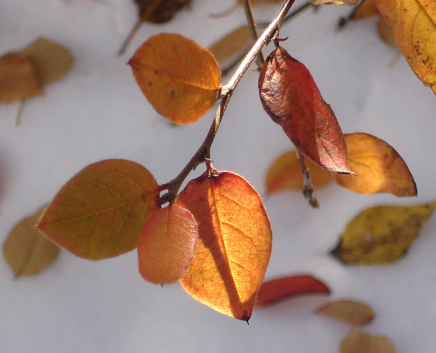 Leaves Photograph - Shades Of Red And Yellow by Marilynne Bull