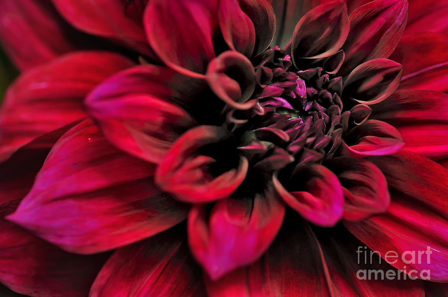 Shades Of Red Photograph - Shades Of Red - Dahlia by Kaye Menner