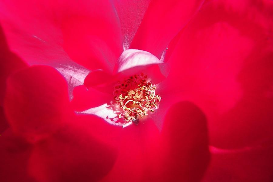 Rose Photograph - Shades Of Red by Sheri McLeroy