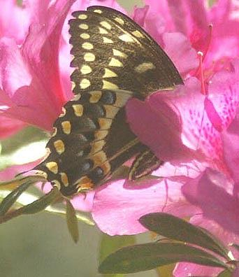 Butterfly Photograph - Shadow Dancer by Linda Jackson