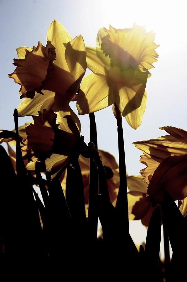 Skagit Valley Photograph - Shadowed Daffodils by Karla DeCamp