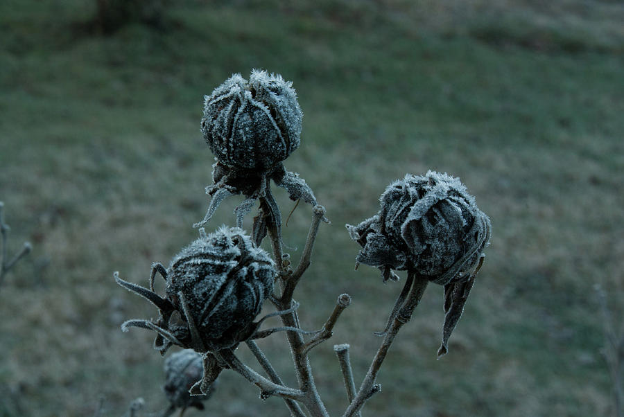 Morgan Photograph - Shadowy Frozen Pods From The Darkside by Douglas Barnett