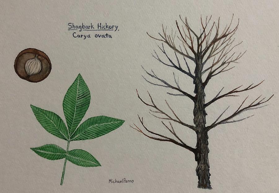 Shagbark Hickory Tree Id Painting