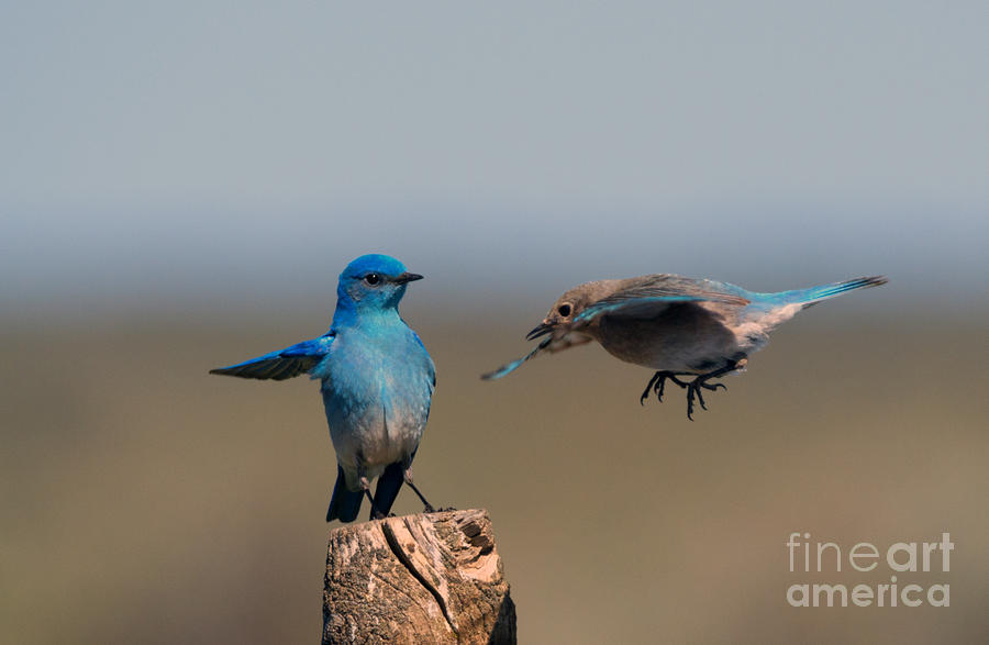 Mountain Bluebirds Photograph - Share My Post by Mike Dawson
