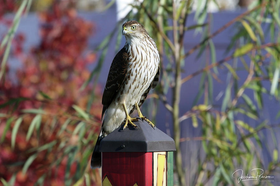 Sharp Shinned Hawk by Jackson Pearson