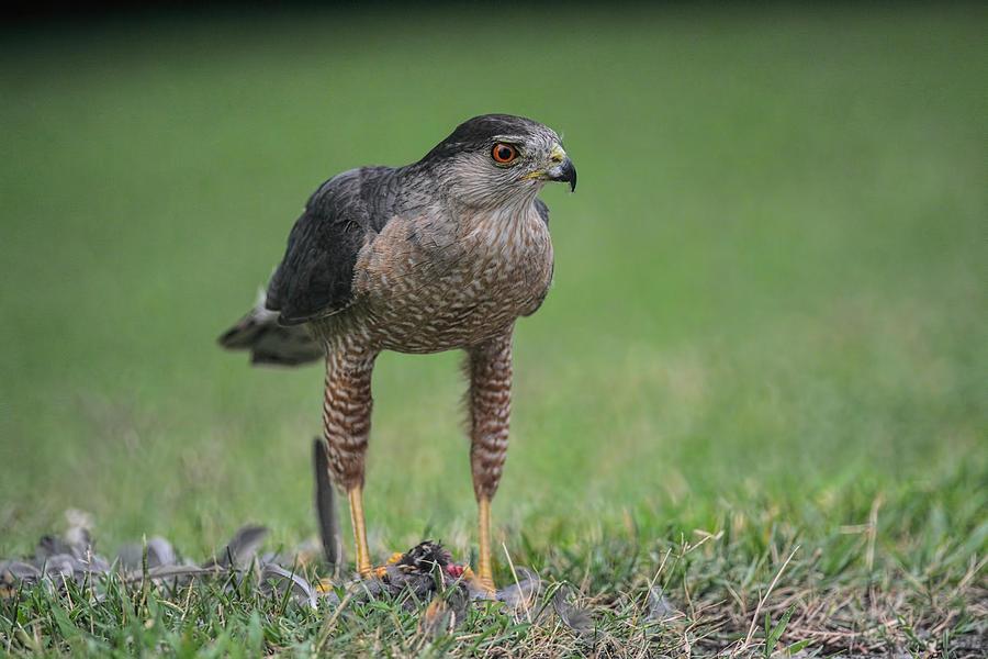 Jai Johnson Photograph - Sharp Shinned Hawk With Prey 062420159527 by WildBird Photographs