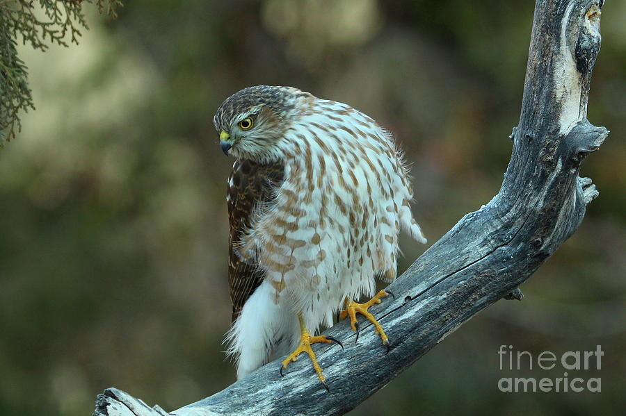 Raptor Photograph - Sharpie-7 by Gail Huddle