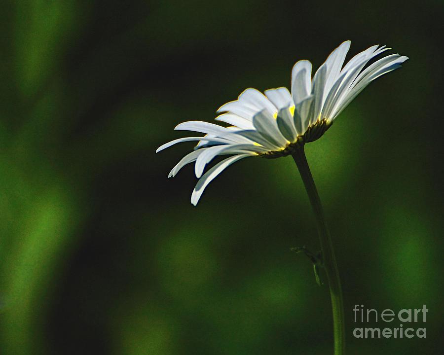 Flower Photograph - Shasta Daisy by Edward Sobuta