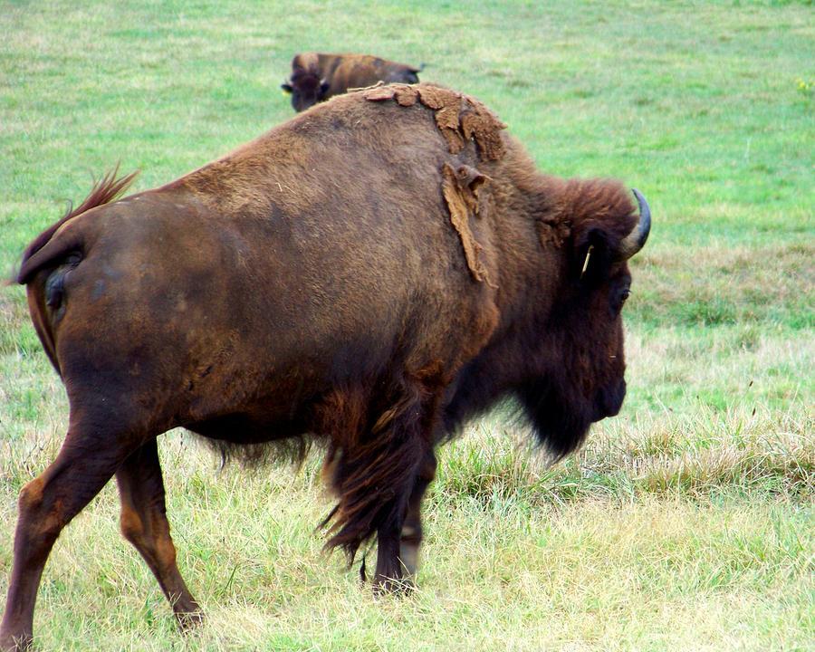Buffalo Photograph - Shedding by Jai Johnson