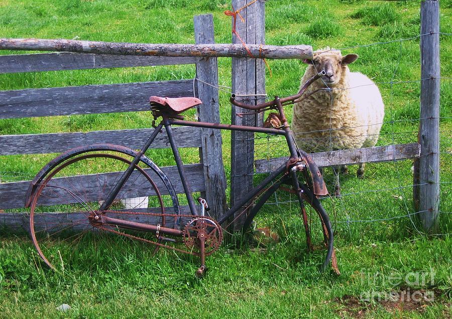 Sheep And Bicycle Photograph by Seon-Jeong Kim