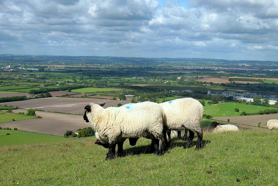 Sheep Photograph - Sheep At Westbury Tor by Kurt Van Wagner