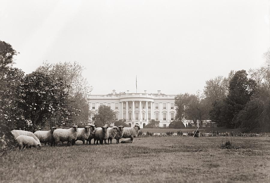 History Photograph - Sheep Grazing On The White House Lawn by Everett