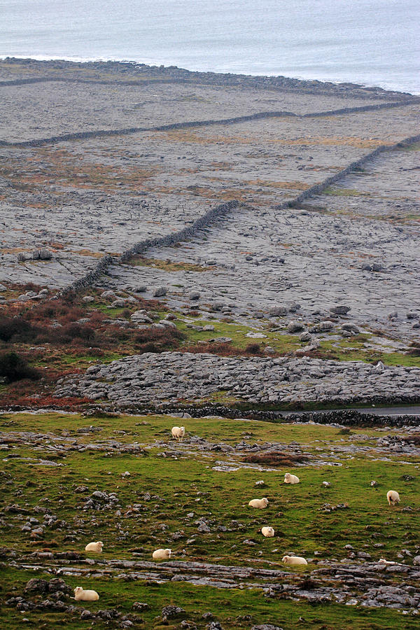 Sheep Photograph - Sheep In The Burren Ireland by Pierre Leclerc Photography