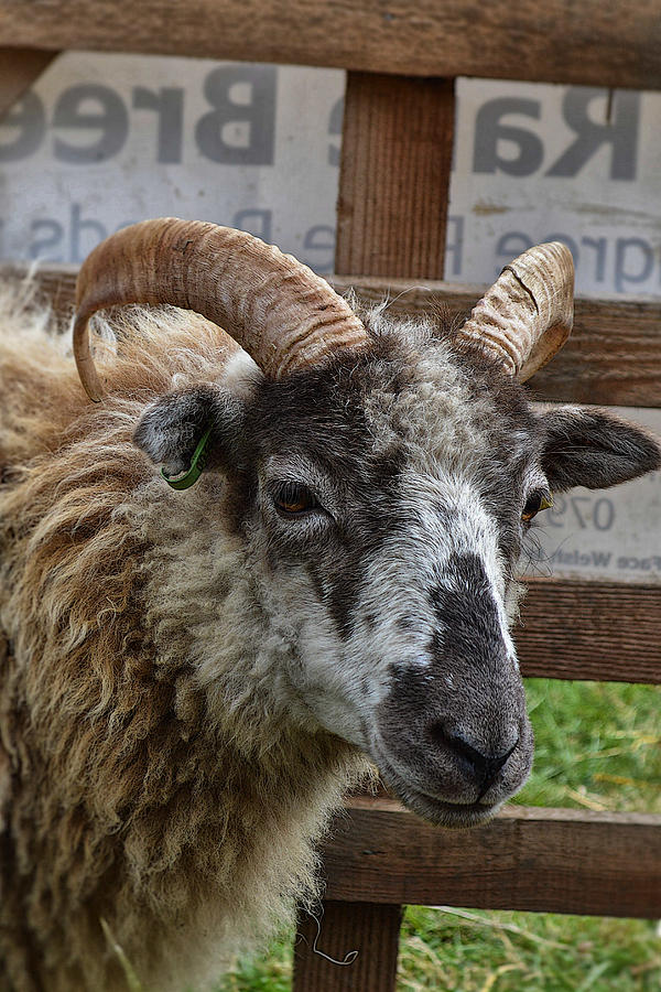 Sheep Photograph - Sheep One by Mark Hunter