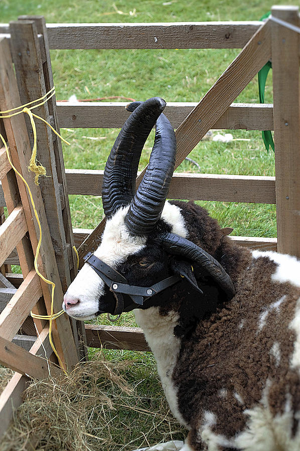 Sheep Photograph - Sheep Three by Mark Hunter
