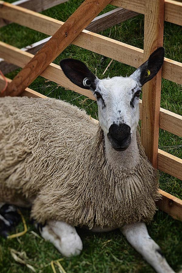 Sheep Photograph - Sheep Two by Mark Hunter