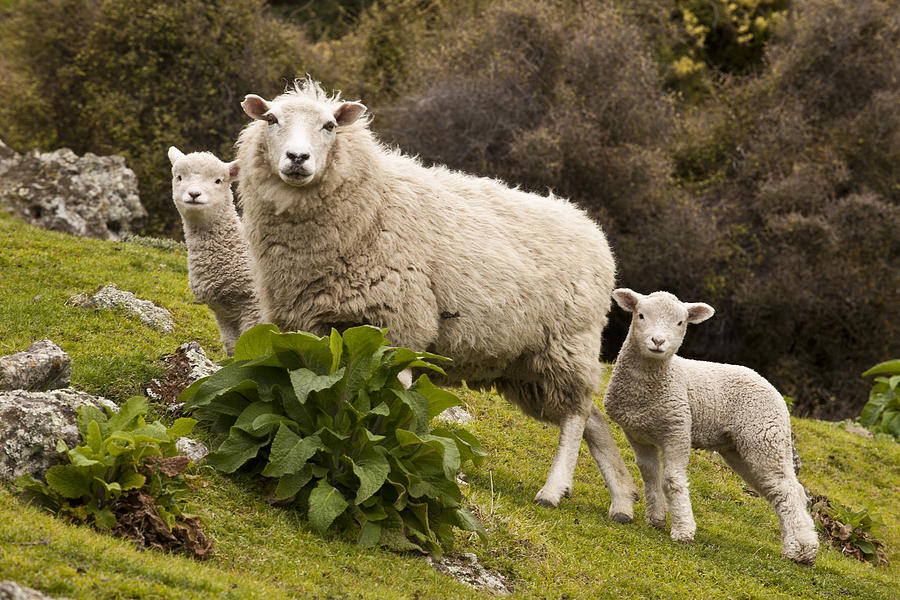 Sheep With Twin Lambs Stony Bay Photograph by Colin Monteath