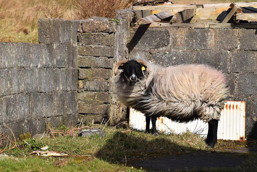 Sheepish Photograph