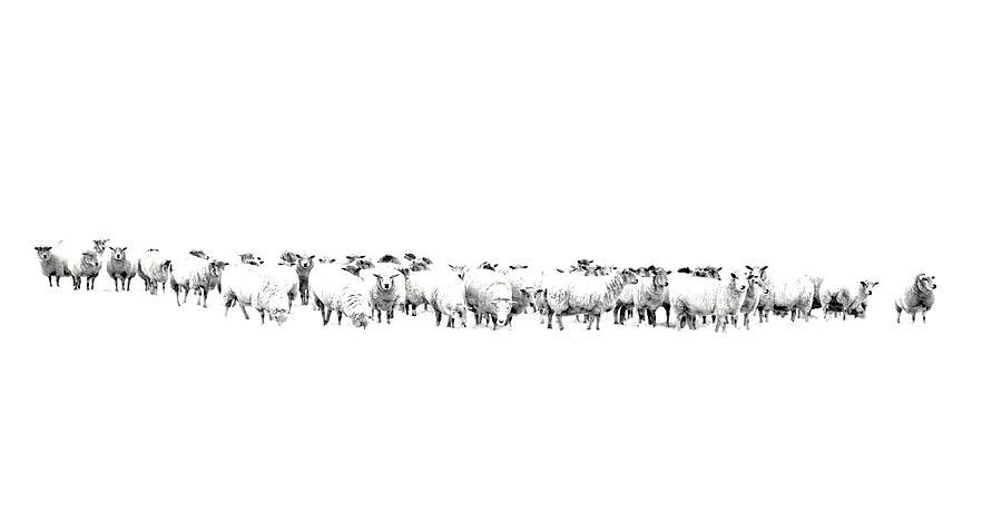 Sheep Photograph - Sheeple  by Andrea Kollo