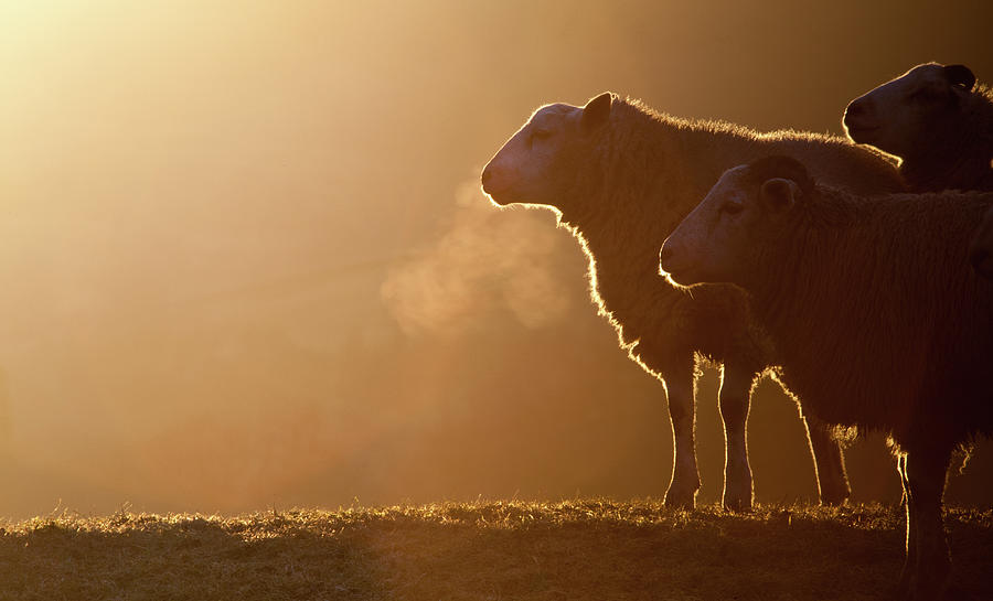 Sheeps Breath Photograph by Peter Chadwick LRPS