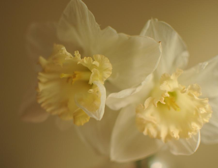 Daffodils Photograph - Sheer Daffodils by Beverly Cazzell