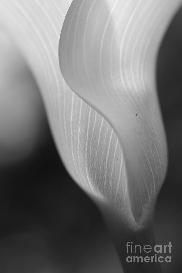 Calla Photograph - Sheer Elegance by Beth Buelow