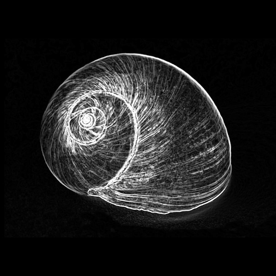 Shell 3 white on black by carole lloyd