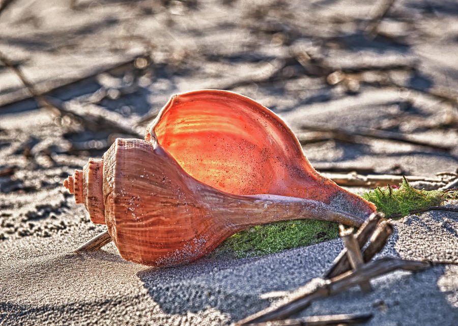 Inlet Photograph - Shell In The Sun by Mike Covington