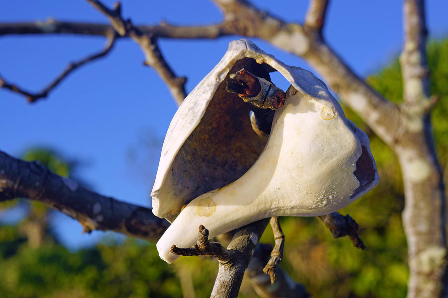 Shell on Brach of Mangrove Tree at Barefoot Beach in Napes, FL by Robb Stan