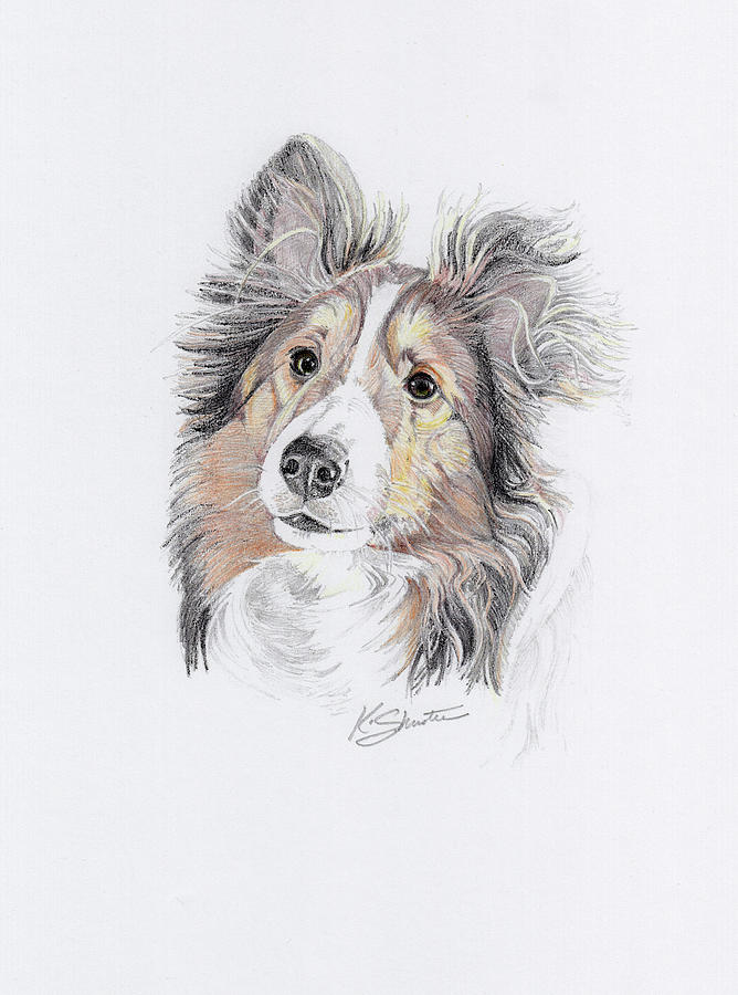 Dog Drawing - Sheltie by Kathy Shuster