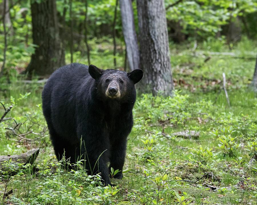 Nature Photograph - Shenandoah Black Bear by Jemmy Archer