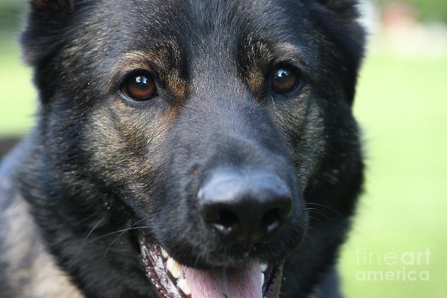 German Shepherd Photograph - Shepherd Closeup by Karol Livote