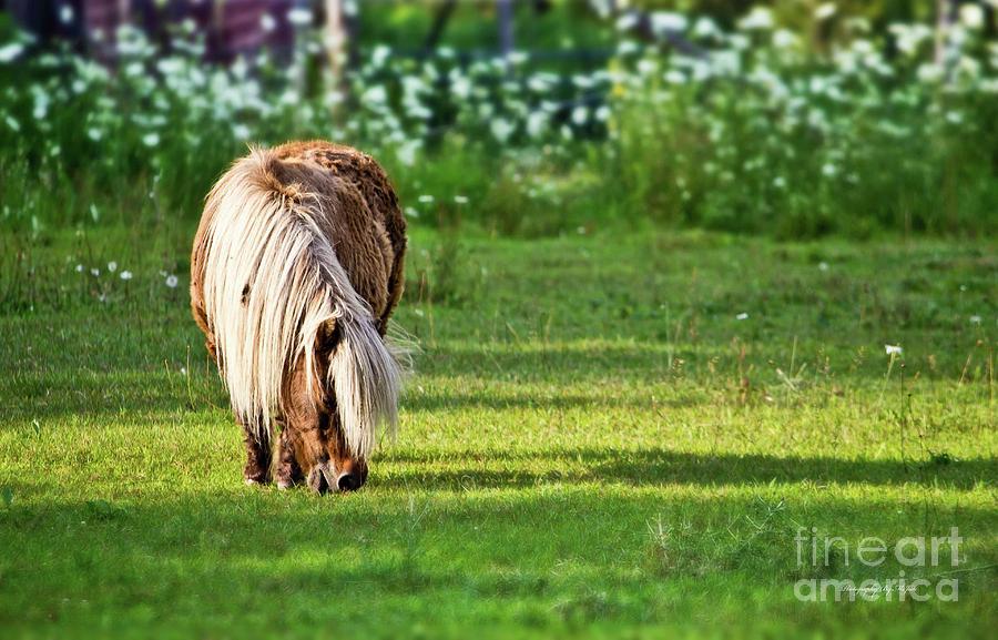 Shetland Pony by Ms Judi