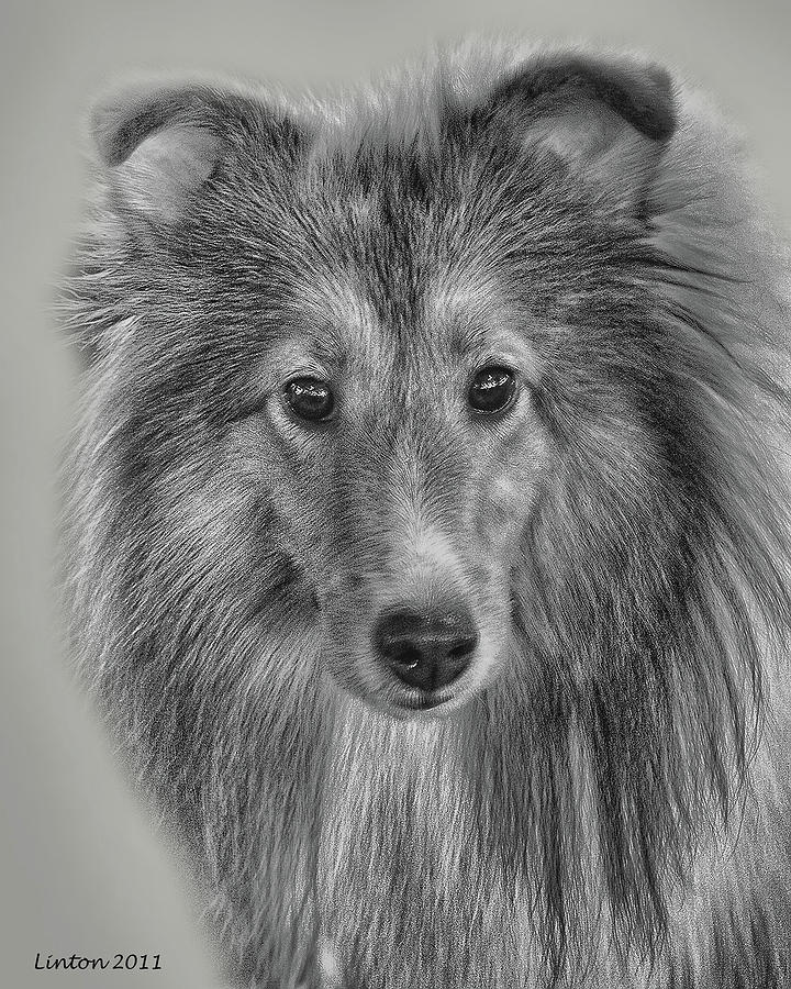Shetland Sheepdog Digital Art - Shetland Sheepdog by Larry Linton