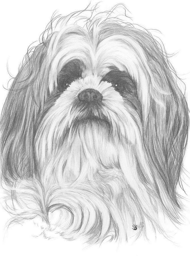 Shih Poo Drawing By Barbara Keith