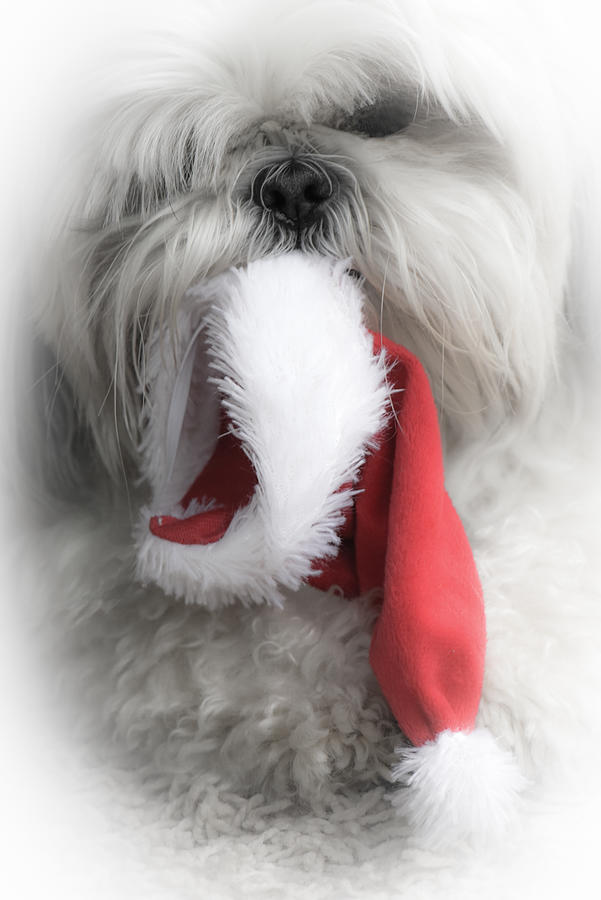 Shih Tzu Christmas White Vignette Photograph by Joy McAdams