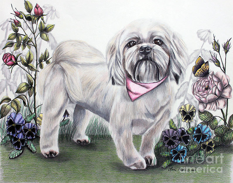 Shih Tzu In Color Drawing by Lena Auxier